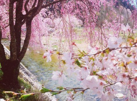 郡上の桜 「憂い美人」