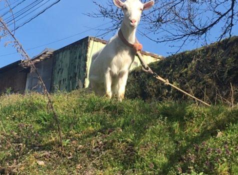 ヤギに会いに行きました